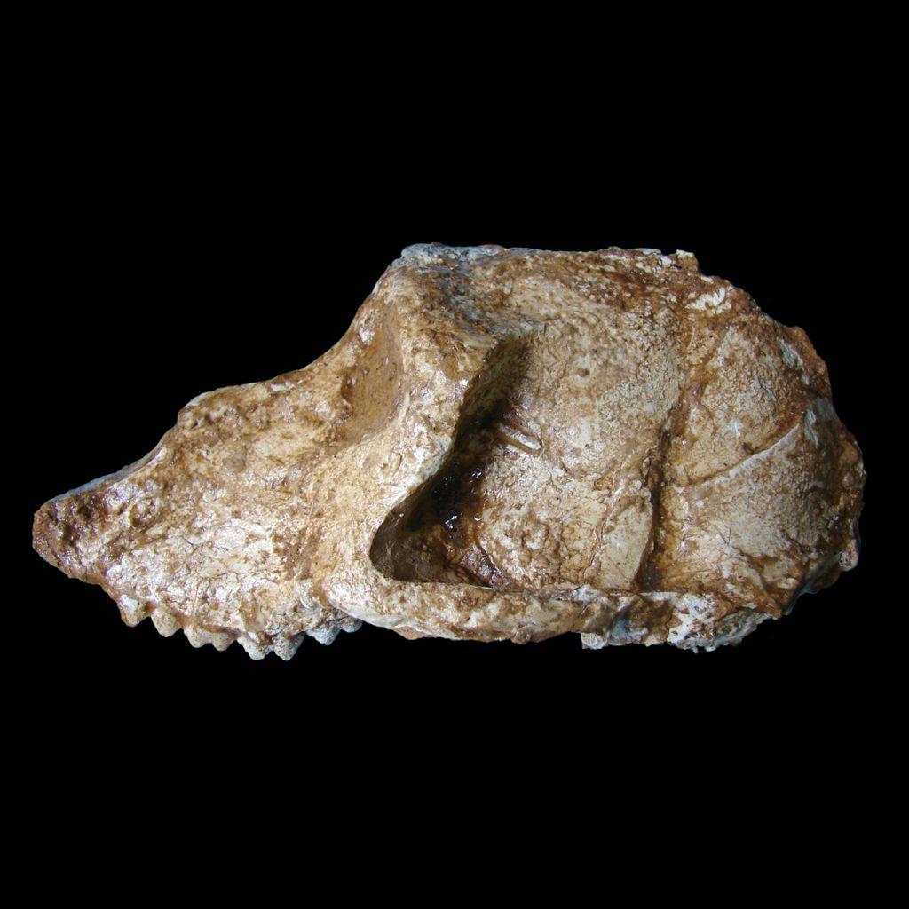 Crâne de Paradolichopithecus aff. arvernensis (cercopithèque proche des babouins), Pléistocène ancien (vers 2 Ma), Dafnero (Grèce)